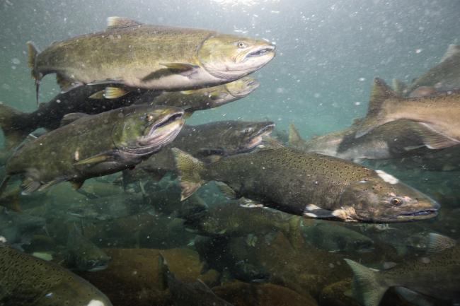 Underwater picture of many salmon swimming in the river during the spawning season. Taken near Chilliwack, East of Vancouver, British Columbia, Canada..
