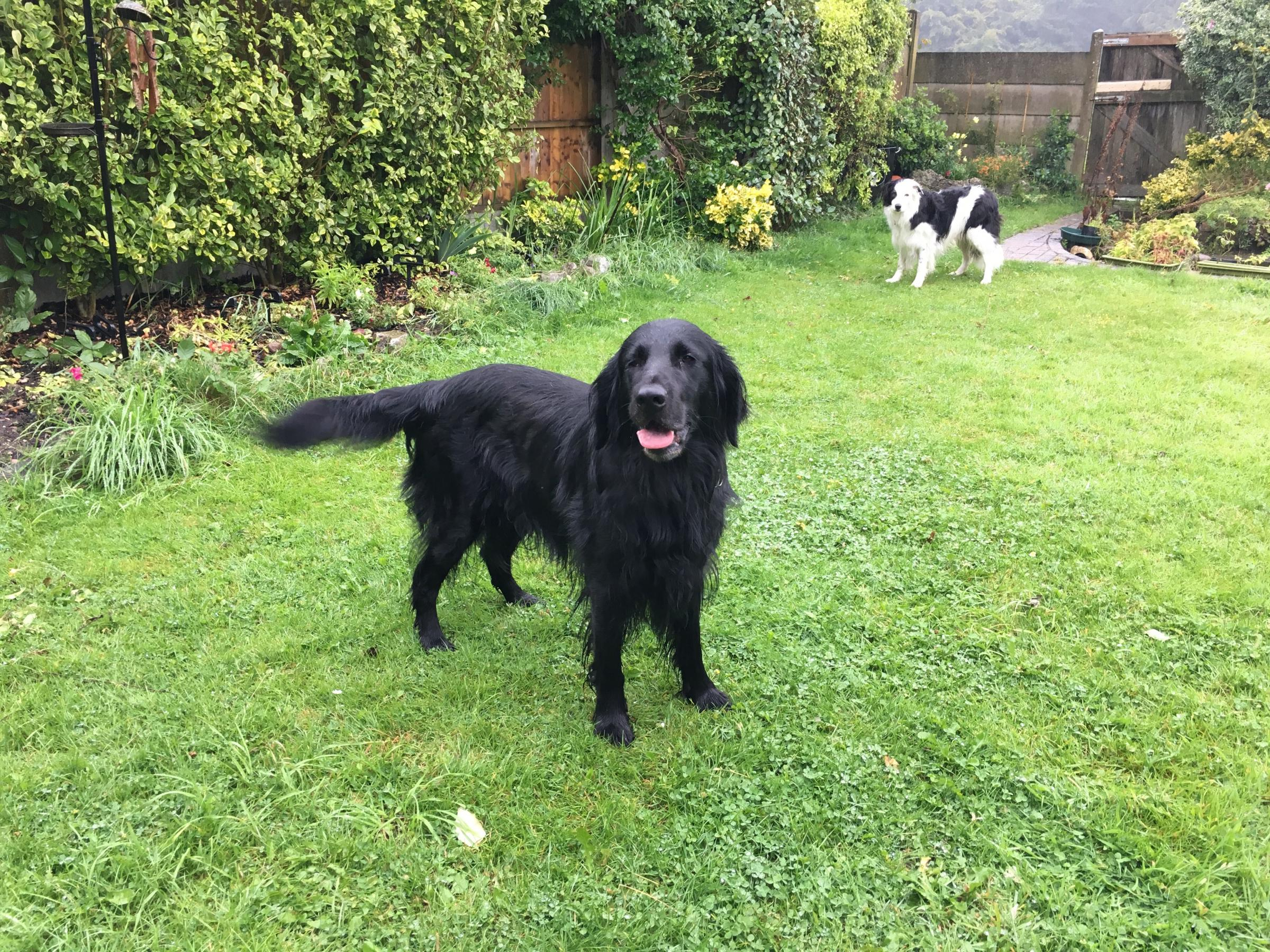 Border Collie and Flat Coated Retriever need a loving new home together, says RSPCA Worcester & Mid-Worcestershire Branch