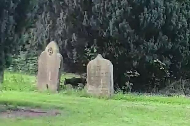 DISCOVER: Mum and son mysteriously spot 'big cat' in churchyard which they claim looked like a puma