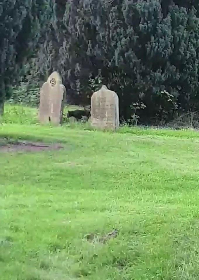 Warning: Video contains explicit language  Mum and son claim they spotted a  puma in a churchyard