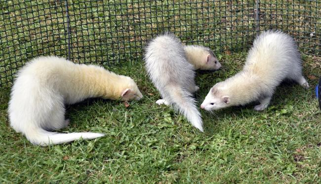 Ferret racing will take place in Pershore