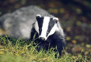 TB: A badger cull is