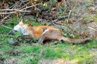 DO IT YOURSELF: The fox in Gayle Hornberger's garden.