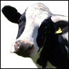 Worcester News: cow features 100x100