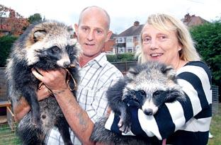 SUPER FURRY ANIMALS: Drew and Lynda Blake with their raccoon dogs Pongo and Purdy (40378601)