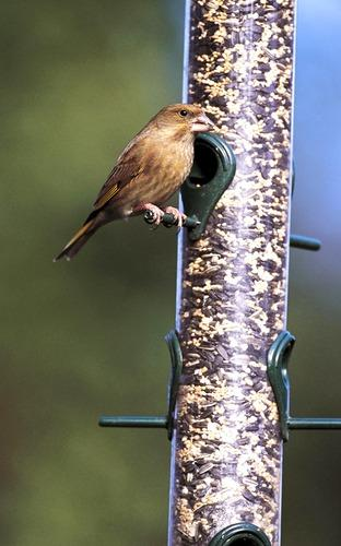 GRUB'S UP: Smaller birds such as greenfinches love seeds and nuts.