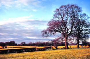 VIEW: A winter landscape with oak trees near Cutnall Green.