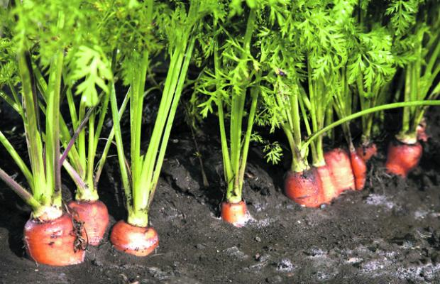 LINE-UP: Carrots can be sown at two-week intervals to provide a succession of crops during the year.