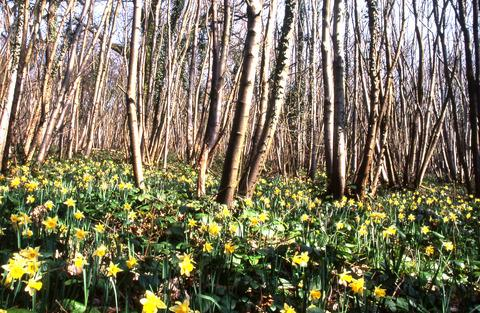 BEAUTIFUL: A carpet of bright yellow wild daffodils at Shaw Common.
