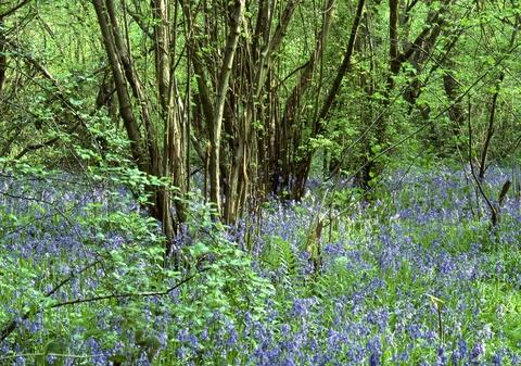 MAGNIFICENT: The bluebells and hazel coppice in Grafton Wood.