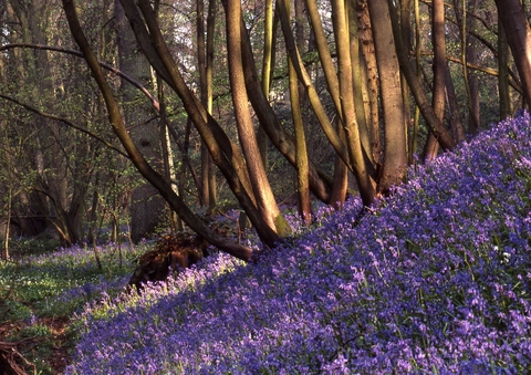 SPRING SPECTACULAR: Shrawley is holding its annual bluebell walks.