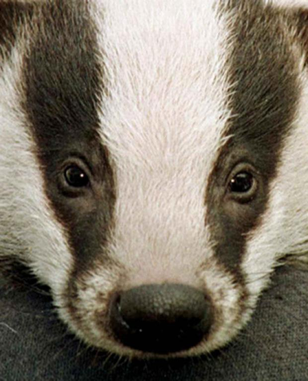 Badger cull may get the chop