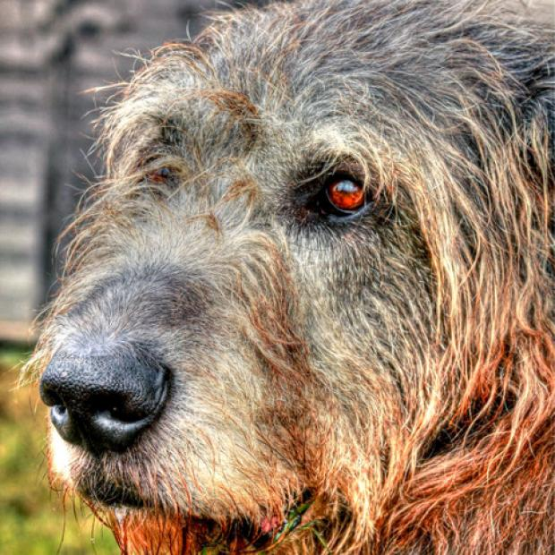 TRIBUTES: Seamus the Wolfhound, who has died at his home near Evesham.