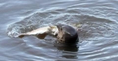 LUNCH: The seal battles with a salmon (pic by reader Michael Howe)