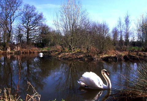 SWANNING AROUND: Swans on one of the pools at Spindle Wood.