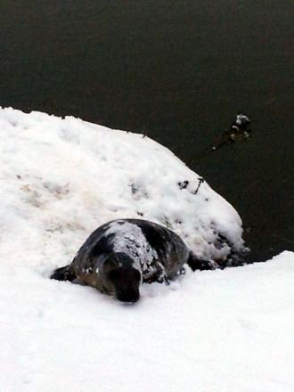 ICE COOL: David Taylor took this picture of Keith the seal near the Lenchford Inn.