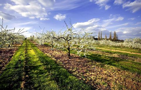 BEAUTY: Worcestershire orchards are noted for their stunning appearance in the spring.