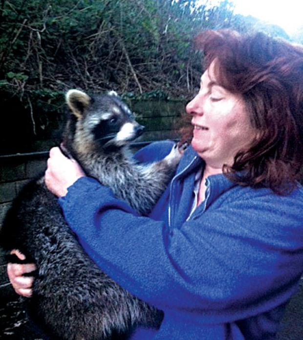 BACK IN HER ARMS: Lynne Duffy from Gloverspiece Minifarm is reunited with Snickers the raccoon after he was tempted into a humane trap with the help of a Twix bar.