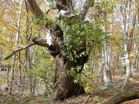 A sweet chestnut tree at Piper's Hill nature reserve.