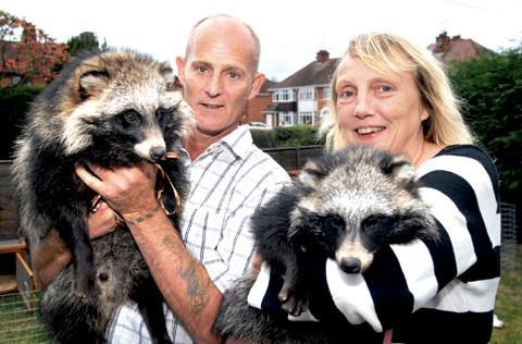THIRTY-NINE PETS: Drew and Lynda Blake are looking for a new home for all their animals, including Pongo and Perdy the raccoon dogs. 40378601