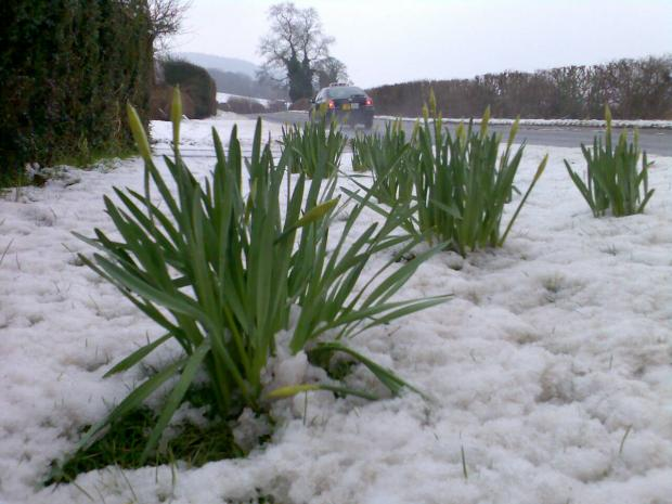 When spring and winter collide: Daffodils in the snow this morning
