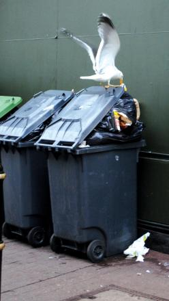 A seagull scavaging in a bin for food