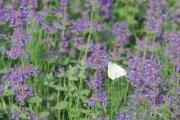 ATTRACTIVE: Drought resistant plants such as catmint can still bring plenty of bright colour to the garden.