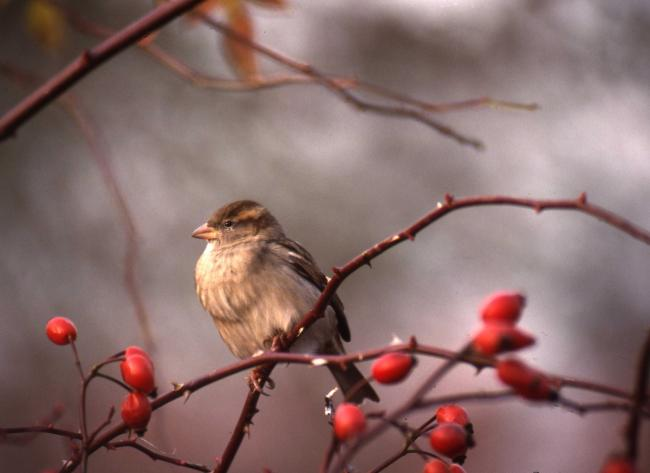 BEAUTIFUL SIGHT: A female house sparrow and rose hips.