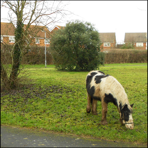 Horse grazing: a familiar sight in the ward