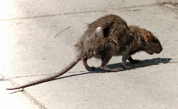 RATS: Causing concern in Cripplegate Park, Worcester