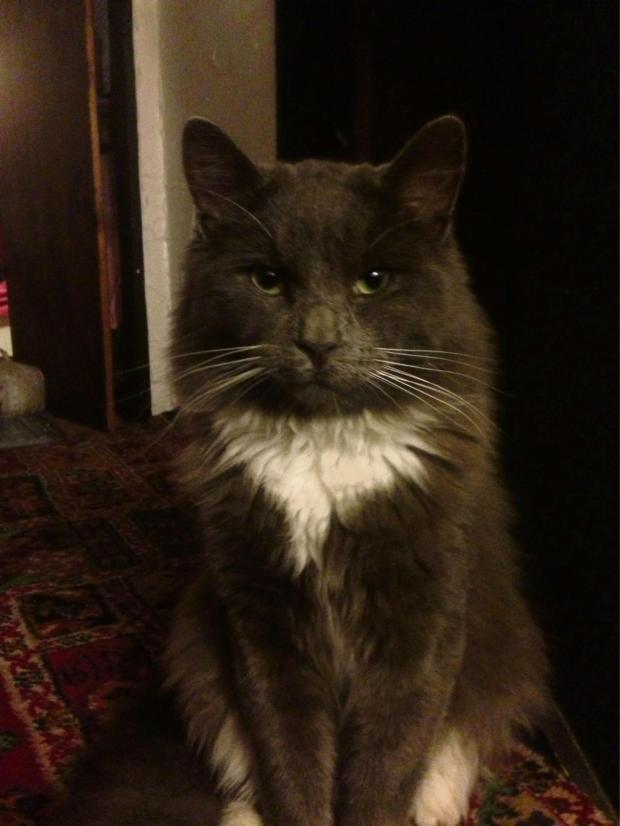 Worcester News: Ash the missing one-year-old grey and white cat