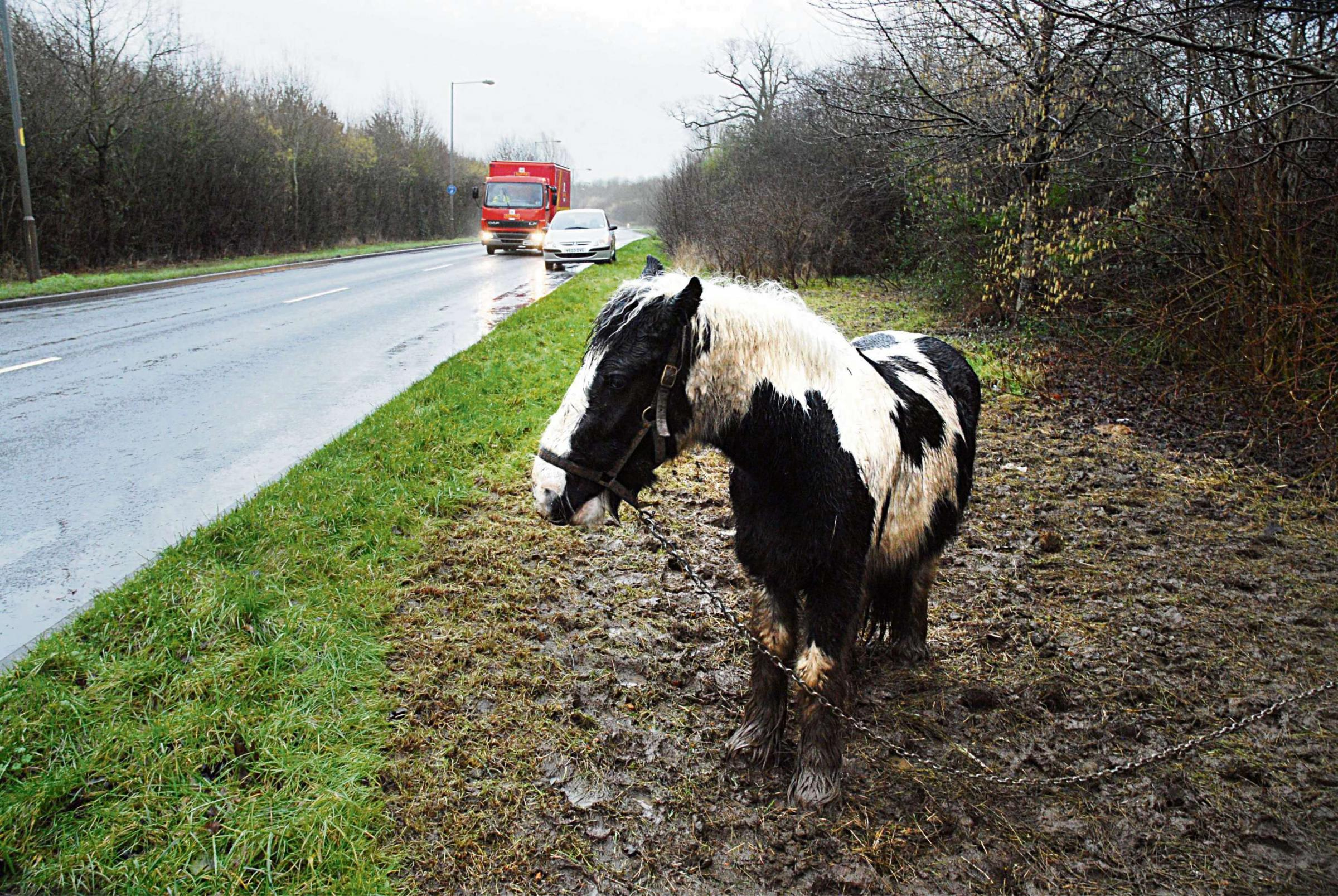 TETHERED: The horses, pictured in January, which were left to graze by the side of the road. Picture by Nick Toogood.