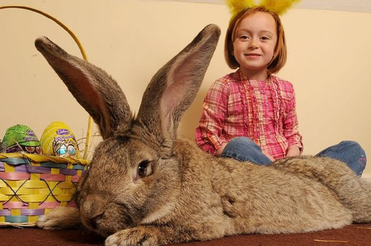 BIG BUNNY: Darius, the world's longest rabbit pictured with Georgia Hadley, owner Annette Edwards' daughter, is heading to Holland for a series of TV appearances.