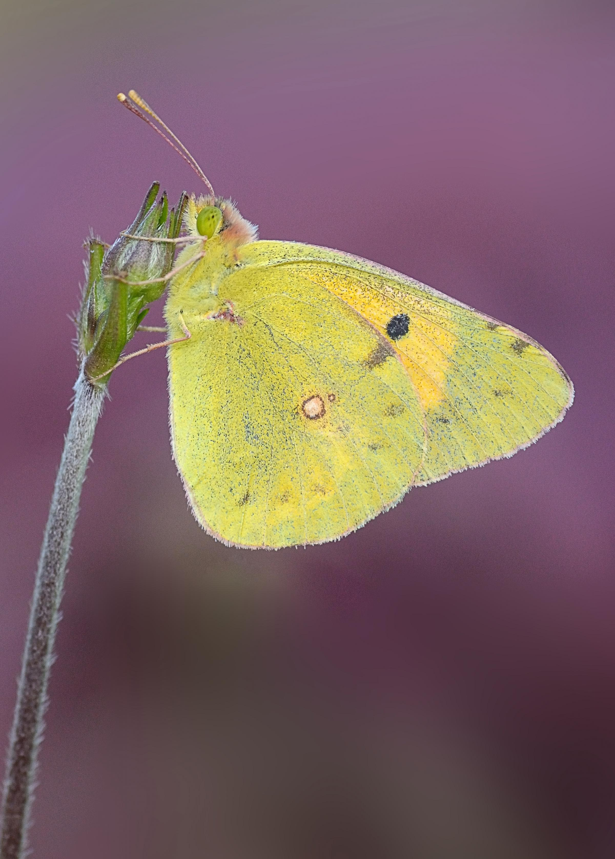 The Clouded Yellow butterfly, which has shot up in numbers since 2012.