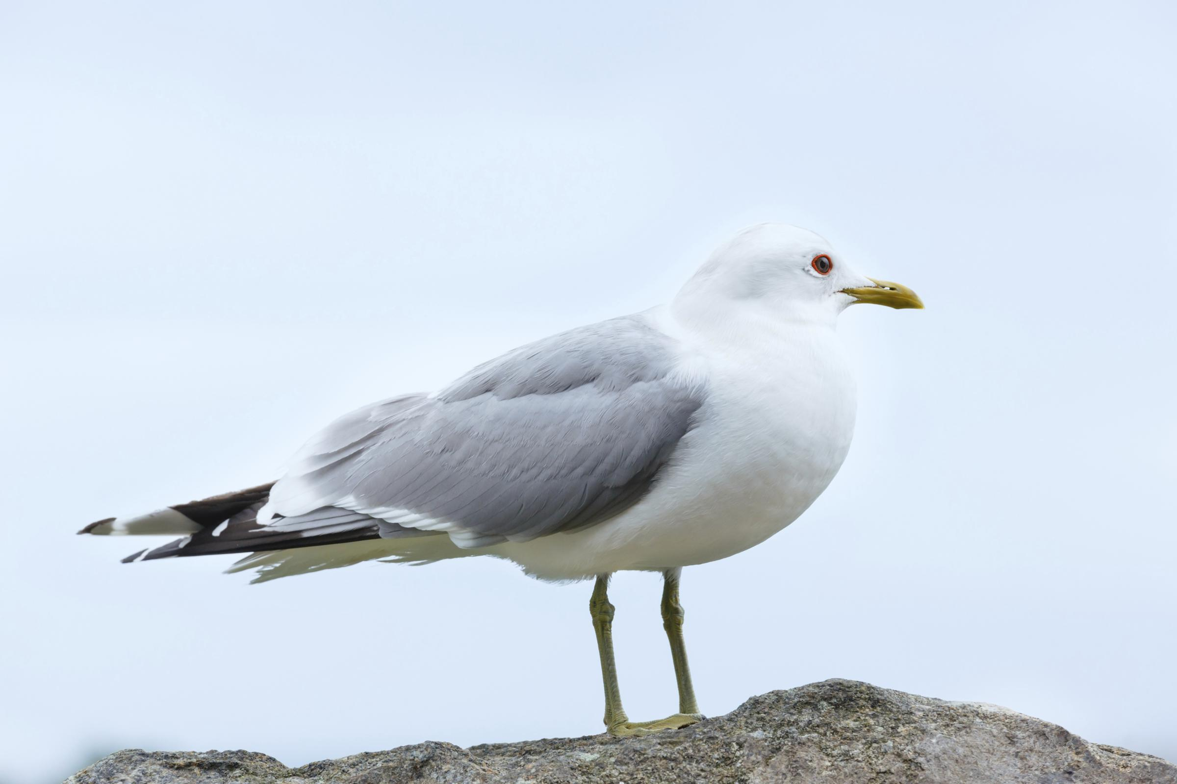Fresh campaign aims to tackle seagulls problem in Worcester