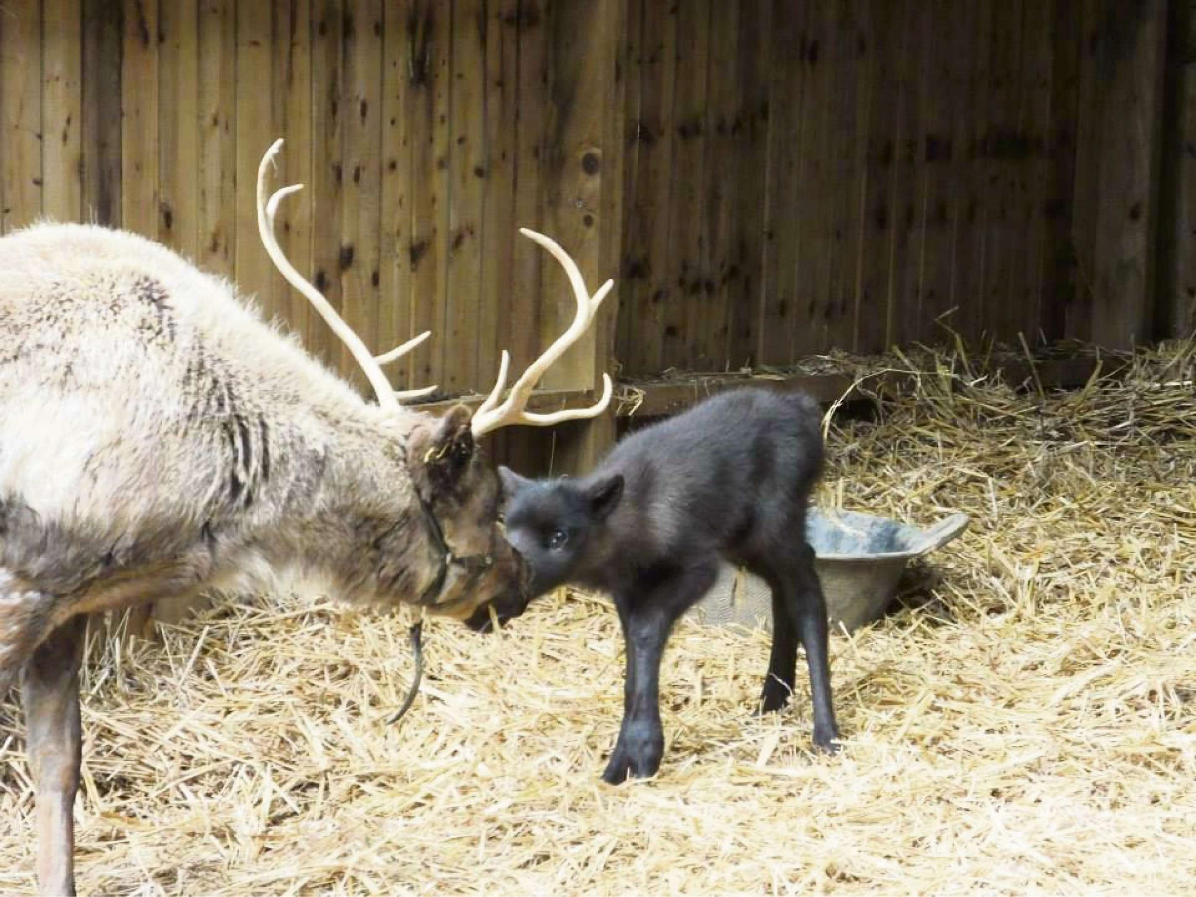 Christmas has come with spring as baby reindeer is born