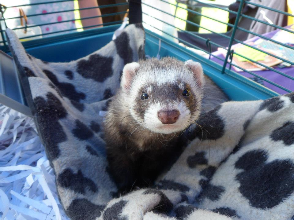 Colin the ferret, who was found as a stray
