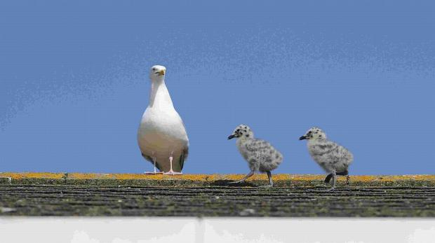 GULLS: They don't half irritate some people