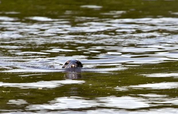 Seal of approval: Keith the seal surprised Grete and David Howard and friends on the river Severn (s)