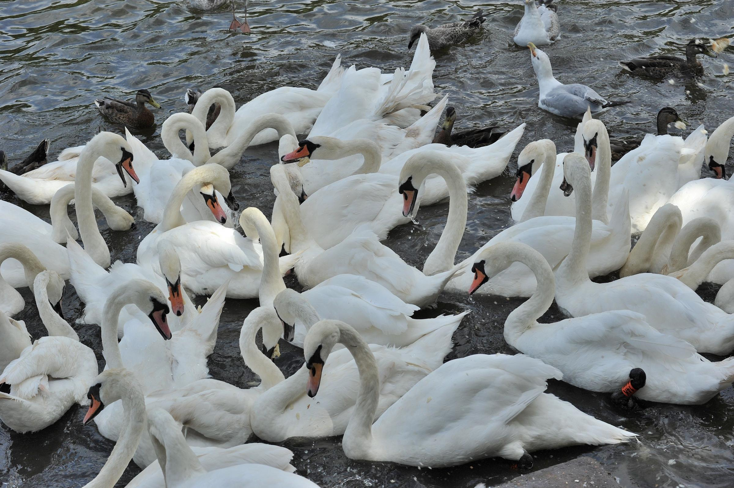 Don't wing it with bread - give the swans something nutritious