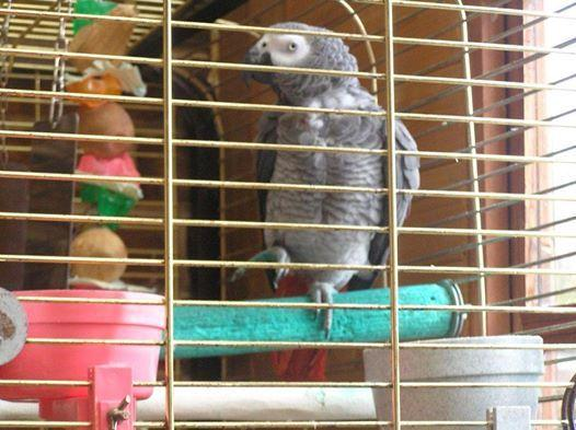 MISSING: Owners of this parrot have put out an emotional plea to readers in a bid to find him