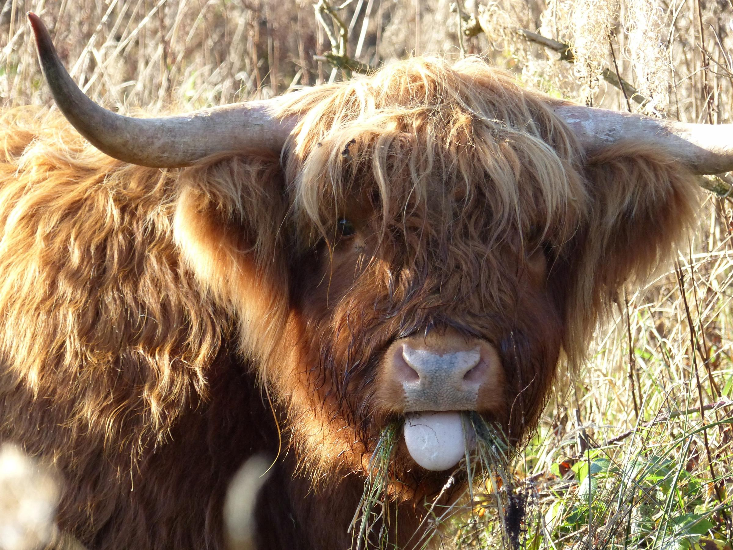Highland cattle have returned to the Old Hills.