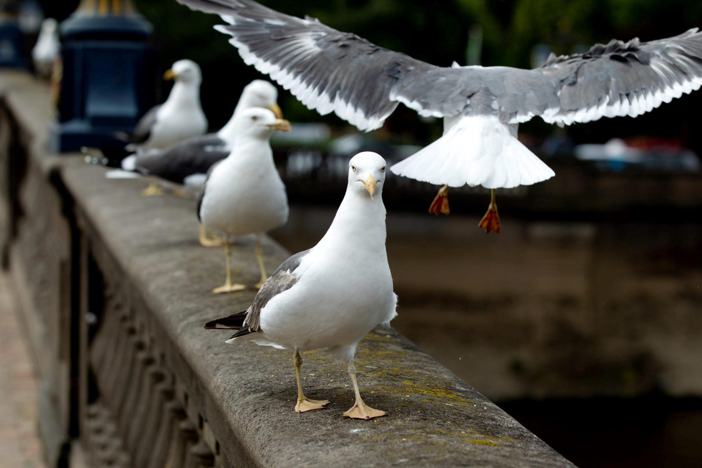 Seagulls: Winged menaces with a personal grudge or just hungry birds?