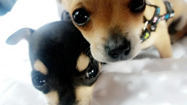 Thieves stole chihuahua dogs from a home in Cedar Court in Bromyard Road.