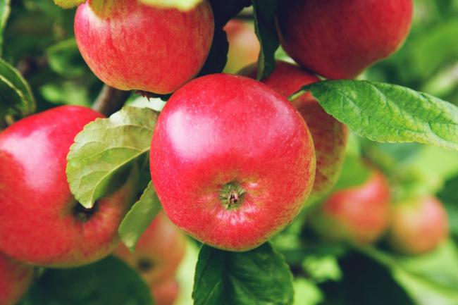 ripe red apples growing in an orchard.