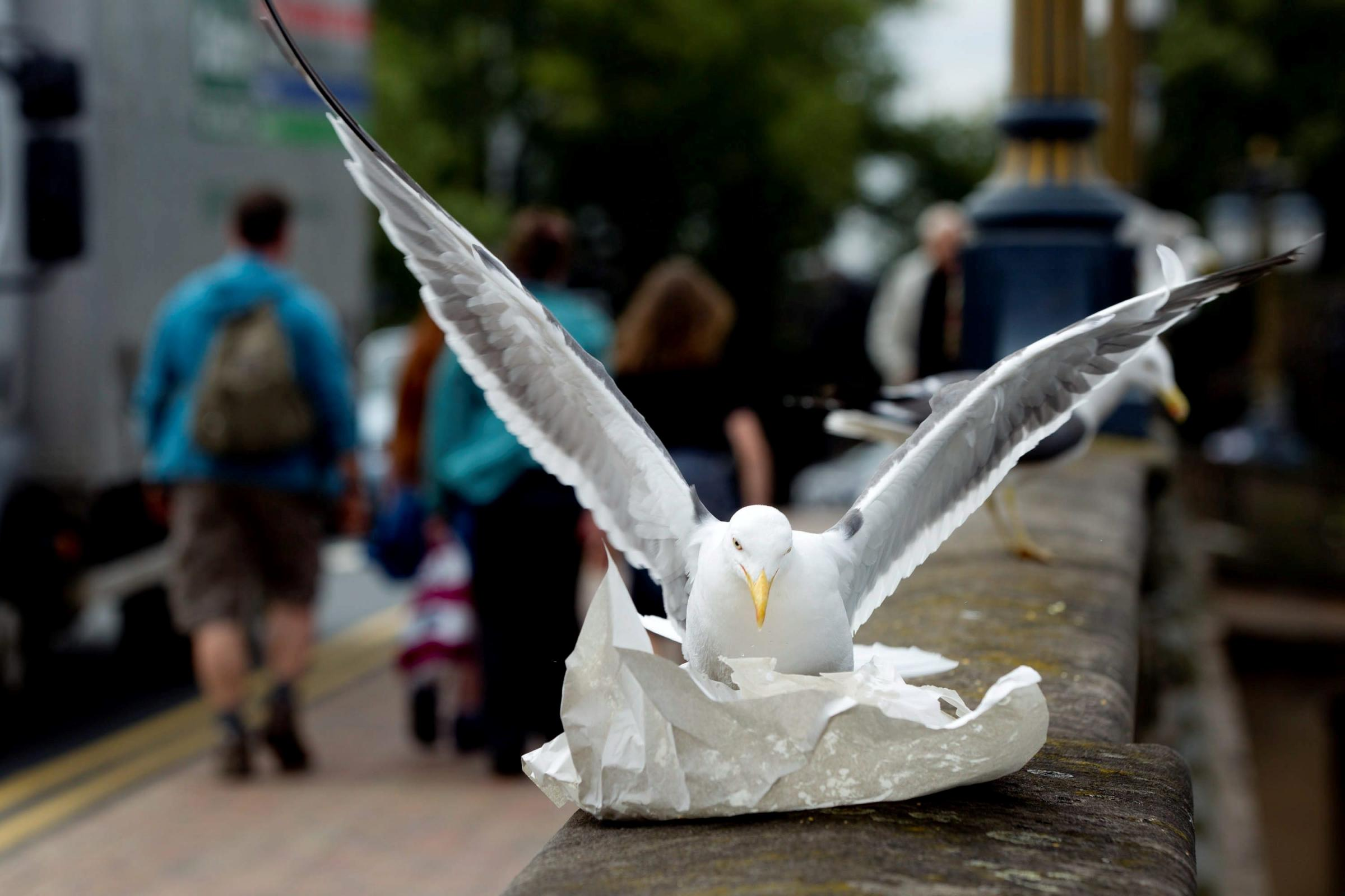 A SEAGULL: Feasting on chips in Worcester
