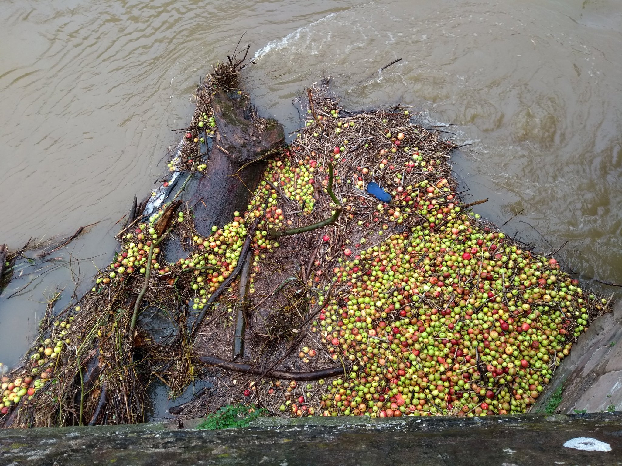 Apples washed down the river Wye by floods caught at the old bridge, Hereford. Picture by @the_jimi_bean