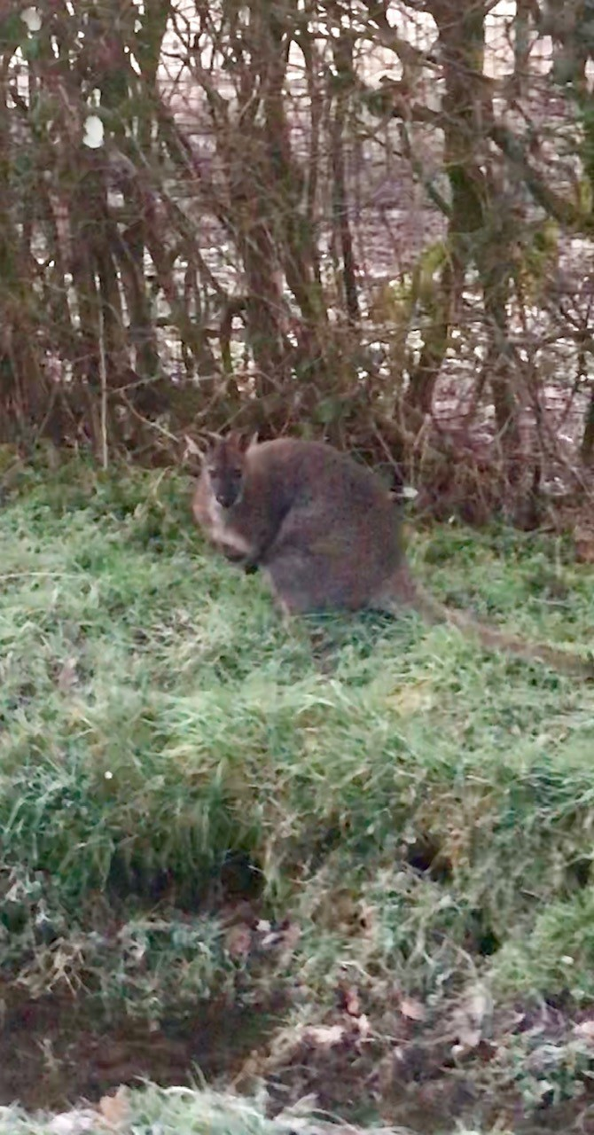 Wallaby spotted by side of the Breinton road, Hereford. Picture by Mark Hoskins