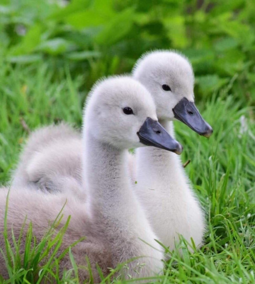 Worcester News Camera Club: Fluffy cygnets, beautiful buttercups and a sea view