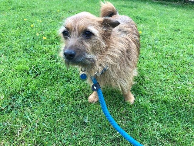 Benny is a small red tan and black two year old wire haired Jack Russell crossbreed terrier in the care of RSPCA Worcester & Mid-Worcestershire Branch